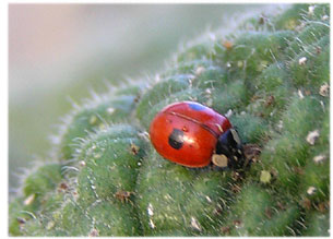 Ladybird dealing with an aphid outbreak